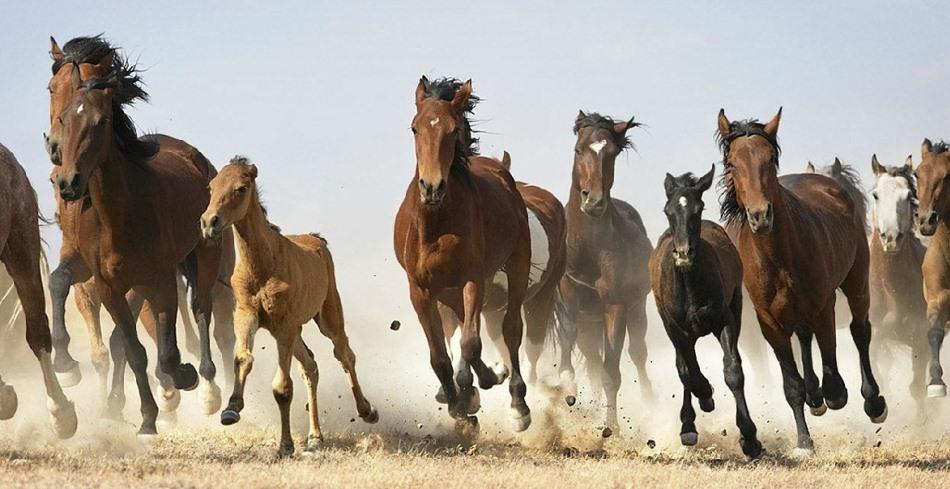 Atlar nereden geliyorlar? Memeli ailesinin bir üyesi olan atların, Latince ismi Equus Caballus'tur ve atlar, eşşekler ve poniler, küçük bir köpeğe benzeyen bir tür tarih öncesi yaratık olan Hyracotherium'un soyundan türemişlerdir. Yaşam süreleri 20 ila 35 sene arasındadır.   Bugün asıl amacımız size atların bilimsel geçmişini anlatmak değil. Asırlardır birlikte yaşadığımız, ilk evcilleştirdiğimiz dostlarımızı daha yakından tanımanızı sağlamak.