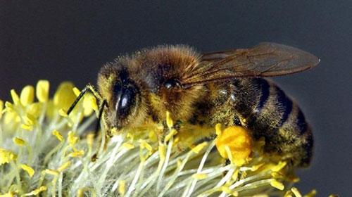 2. Bal arısı! :Kökeni Avustralya olmamakla birlikte alerjiniz varsa bu kıtada karşılaşasırsanız bittiniz demektir... Alerjisi olanlar için toplu saldırı durumunda ölüm tehlikesi oranı: 10 üzerinden 9.
