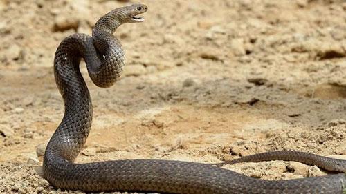 5. Doğu kahverengi yılanı: Kahverengi yılan olarak da bilinen bu tür Avustralya'nın doğu kıyısında bulunan topraklarda adeta ölüm saçmaktadır. İnsanların yoğunlaştığı yerlerde yaşamayı sever. Taipa'nın ardından en zehirli ikinci kara yılandırır. Zehirleri çok toksiktir, yavru ları bile insanları öldürebilir. Karşılaşıldığında ölüm tehlikesi oranı: 10 üzerinden 8.