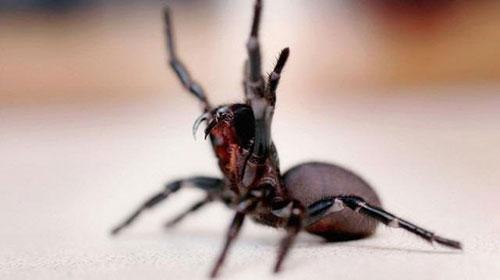 7. Sidney huni yuvalı örümceği:Bu örümcek türü en zehirli örümcekler listesinde bir numaradaki yerini hiç kaptırmadı. Özellikleri insanları ısırıyorlar ve çok sayıda ölüme sebep oldular. Bu örümceğin dişleri parmağınıza ya da ayak tırnağınıza girerse, Funnel-web örümceği bir insanı 15 dakika içinde öldürebilir. Korktuklarında daha da saldırganlaşıyorlar. Karşılaşıldığında ölüm tehlikesi oranı: 10 üzerinden 8.