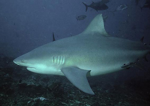 4. Boğa köpekbalığı : Kimi zaman boyları 4 metreyi bulabilen tehlikeli bir köpek balığı türüdür. Yunusları yemesiyle bilinir. İnsanlar için de çok tehlikelidir. Hawai ve Zambezi'de insanlara yönelik saldırıları gerçekleşmiştir. Tatlı suya da girebilen bu hayvanın timsahlarla dövüştüğüne de şahit olunmuştur. Avustralya kıyılarında karşılaşılması durumunda ölüm tehlikesi oranı: 10 üzerinden 8.