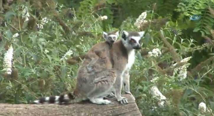 Lemurların yavru sevinci