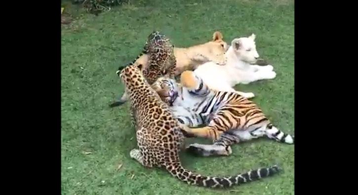Vahşi kedilerin göz yaşartan dostluğu